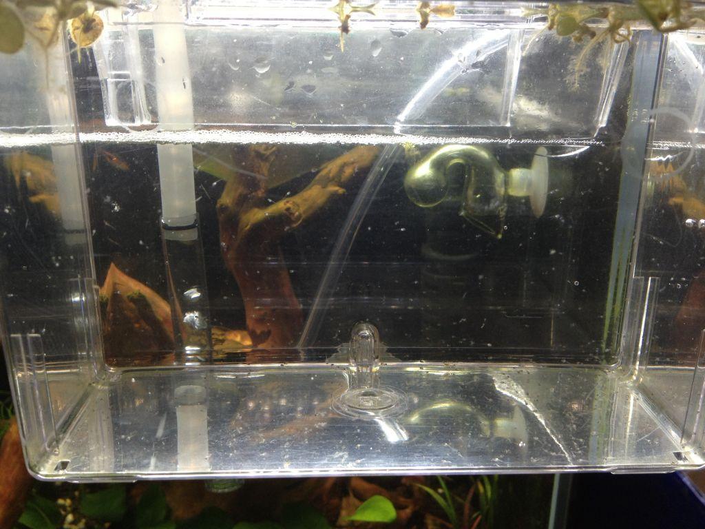 ゴールデンハニードワーフグラミー稚魚の飼育環境