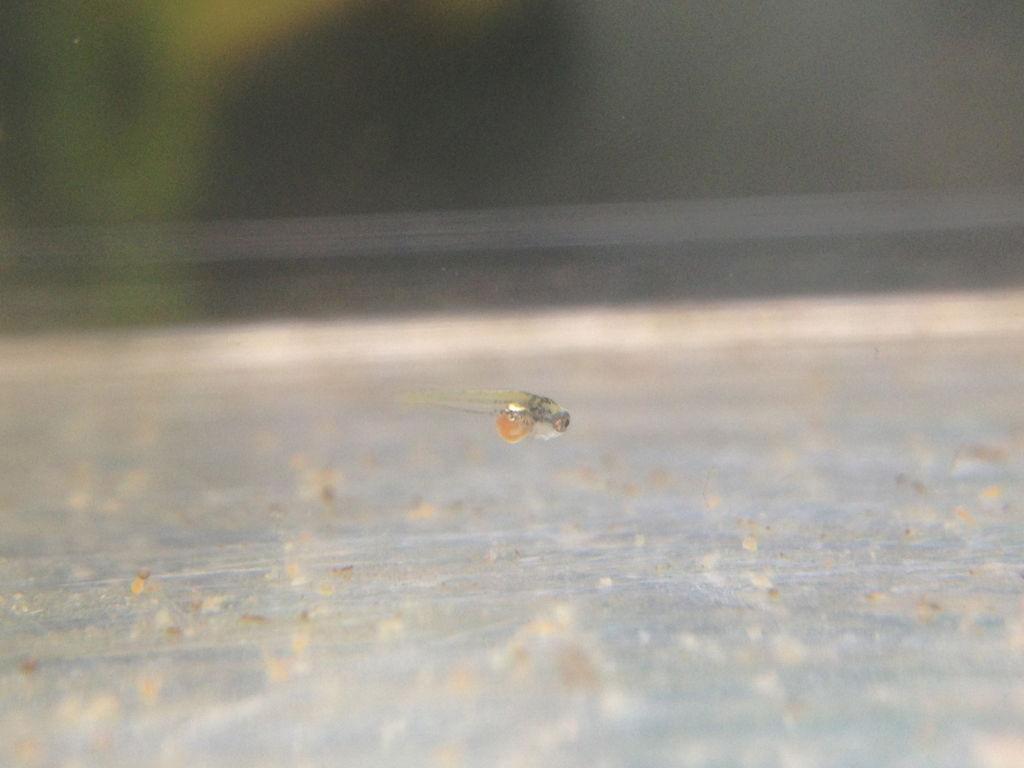 ゴールデンハニードワーフグラミー稚魚小さい方