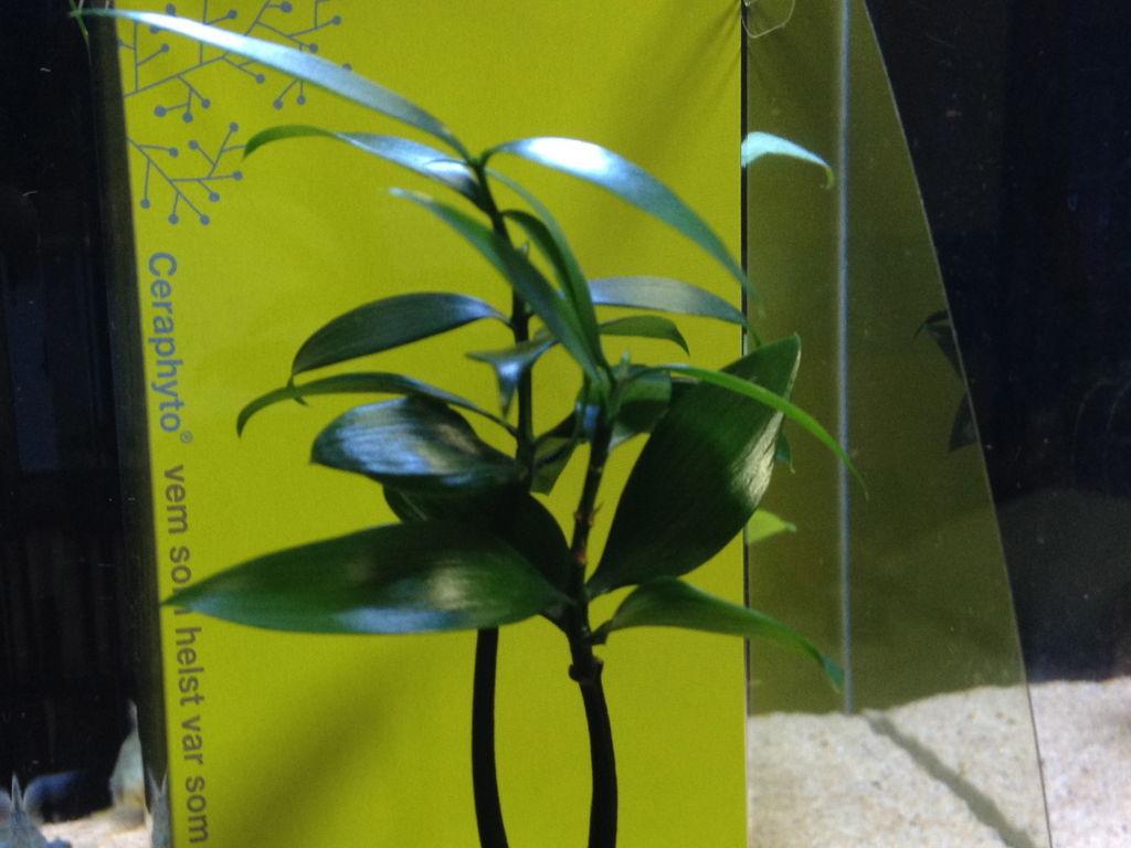 セラハイト タマビン ナギの木