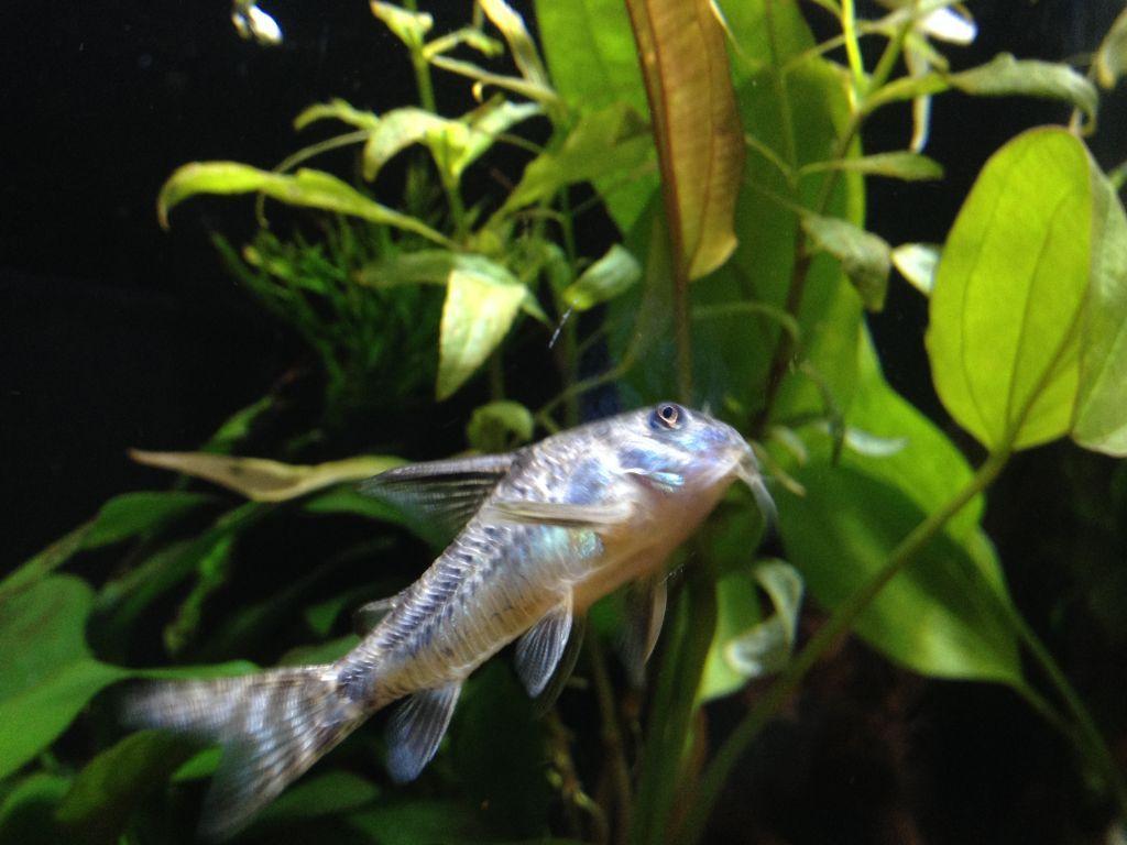フネアマ貝のエキスに夢中なコリドラス1匹