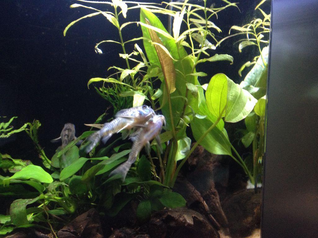 フネアマ貝のエキスに夢中なコリドラス2匹