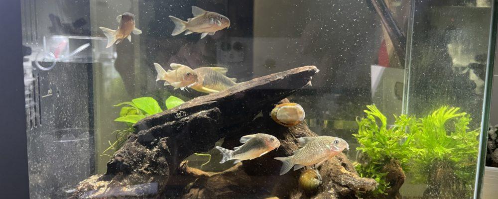 寄生虫のイカリムシやピロピロに規制されたコリドラスの不自然な遊泳姿。