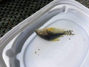 イカリムシで死亡したコリドラス