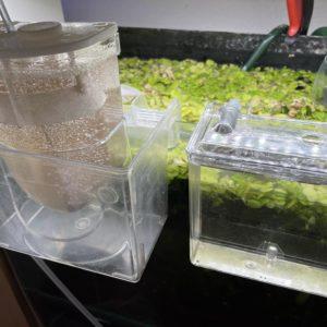 コリドラスシミリス稚魚の給餌タイミング確認方法